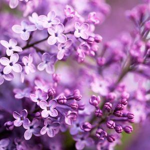 Lilaclving